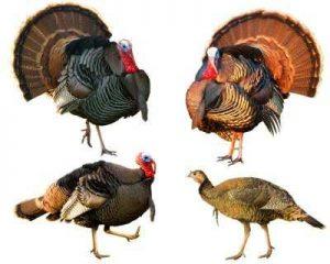 turkey 3 300x240 تاریخچه پرورش بوقلمون