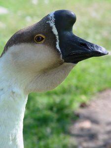 Chinese goose head male 225x300 پرورش غاز