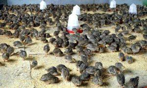 Quail Farming Litter System 300x180 پرورش بلدرچین