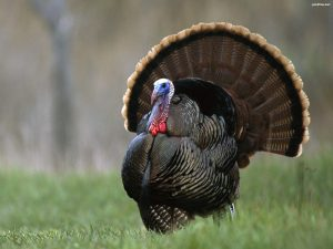 turkey 1 300x225 turkey 1