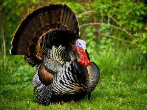 Turkey Bird 10 300x225 Turkey Bird 10