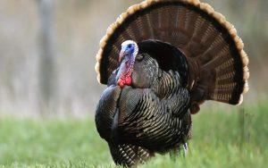 turkey8 300x188 turkey8